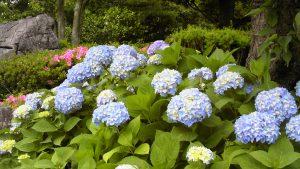 いちかわ大町霊園の紫陽花