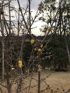 ロウバイの木