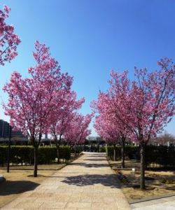 桜の花びらが舞う