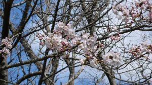 ❀平成霊園の桜❀