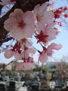 桜色舞う市川の杜霊園