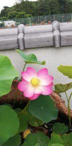 平成霊園の夏の花