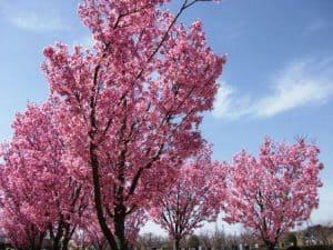 陽光桜が満開に・・・