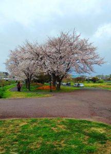 「桜花爛漫」から「葉桜」へ